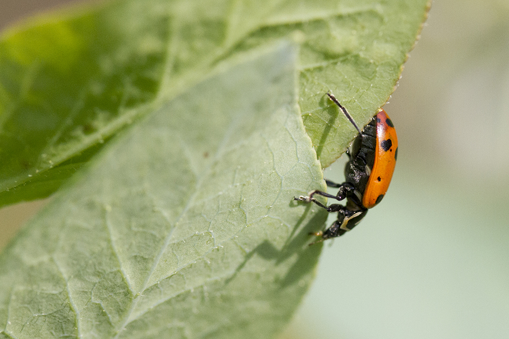 A ladybug walks down a leaf