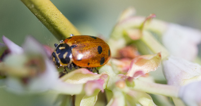 A ladybug sits on top of a blueberry bush