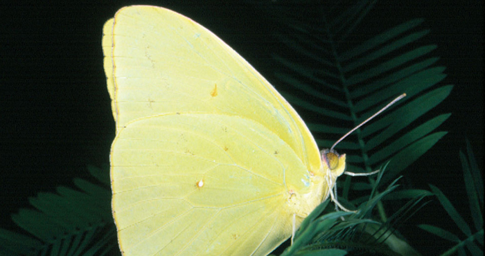 Cloudless Sulpher adult butterfly