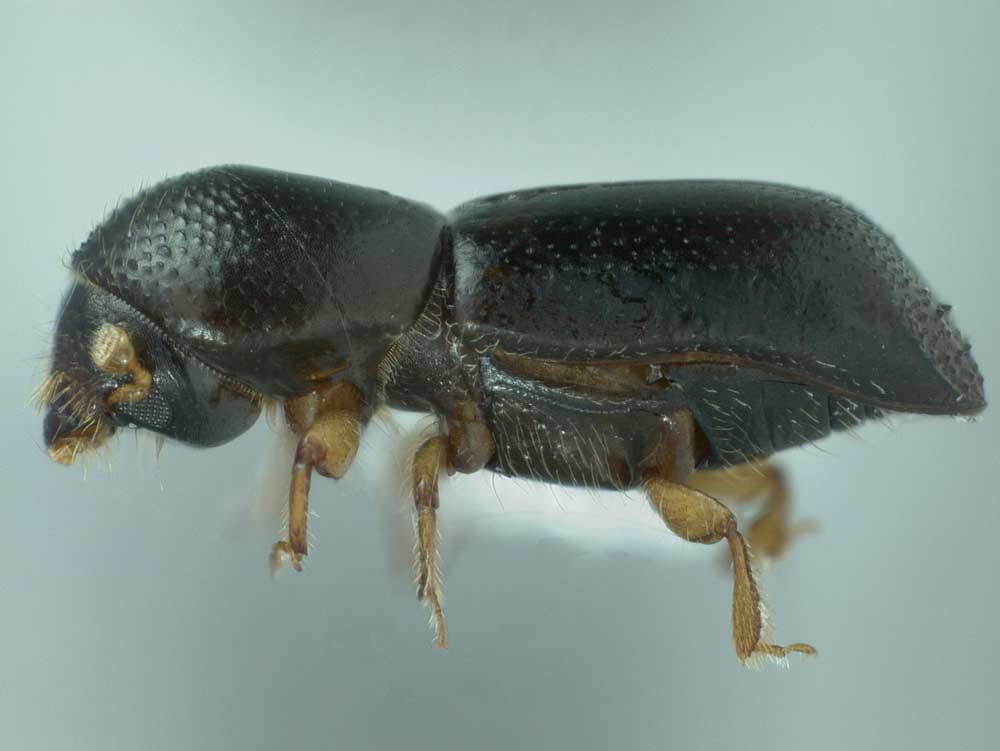 Redbay Ambrosia Beetle, Photo by Michael C. Thomas, Florida Department of Agriculture and Consumer Services, Bugwood.org, CC BY 3.0 US