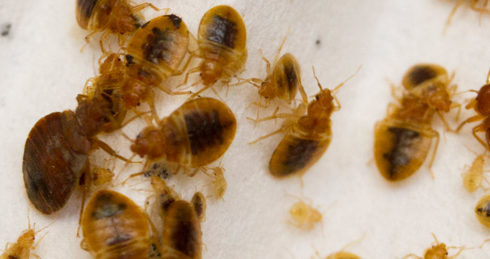 Issue Bed Bugs