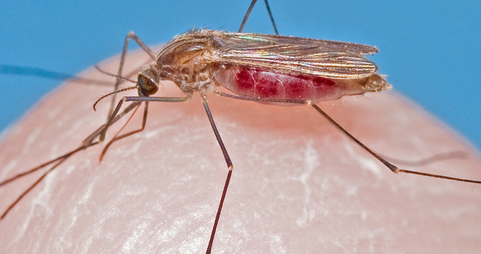 Anopheles mosquito, Photo credit: Jim Newman – Florida Medical Entomology Laboratory