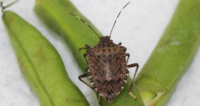 Issue - Under Quarantine - stink bug